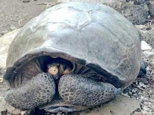 Hallan en Galápagos tortuga gigante considerada extinta hace un siglo.