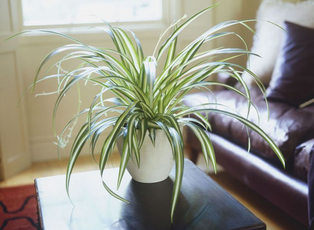 House plants to purify the air if we are to self isolate during the current pandemic