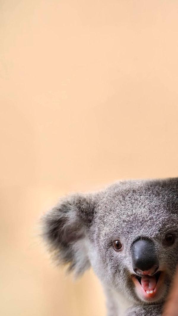 koala celular.jpg