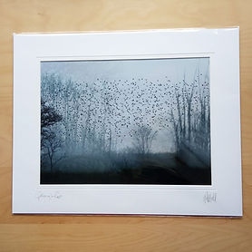 20 x 16 inch mounted print, Gathering to Roost