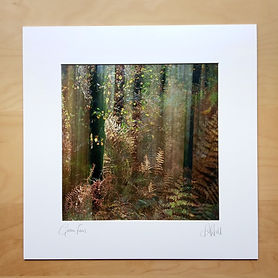 16 inch mounted print, Golden Ferns