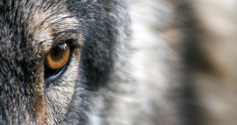 wolf-1352242_1280.jpg