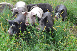 Pigs in a grassy pasture