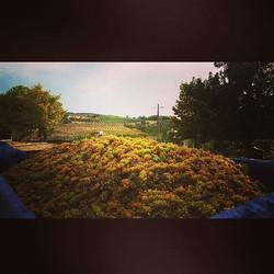Al via oggi la vendemmia 2017 con i colori dorati del moscato #cascinasansiro #piemonte #langhe #lan