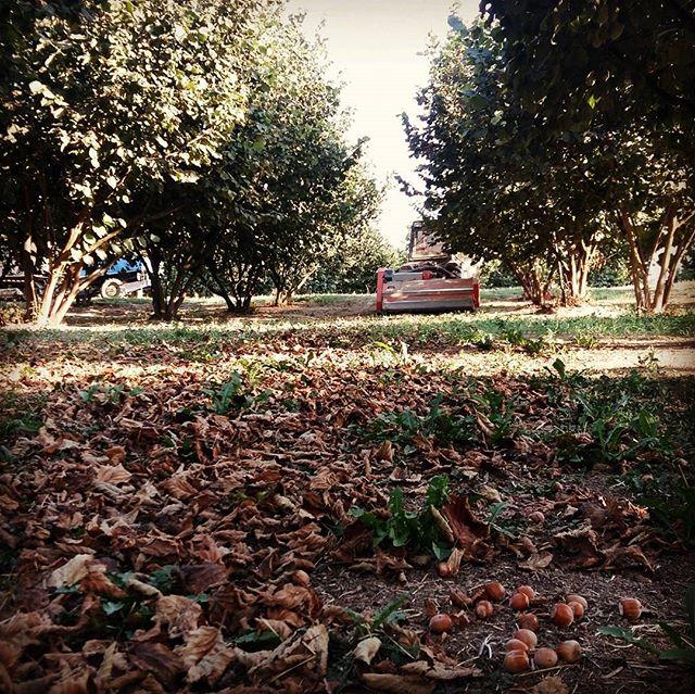 Aspettando la vendemmia iniziamo la raccolta delle nocciole #cascinasansiro #piemonte #langhe #nocci