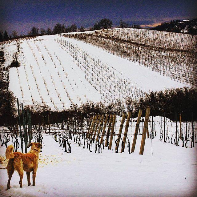 #cascinasansiro #chuck #dog #langhe #monferrato #piemonte #winter #landscape