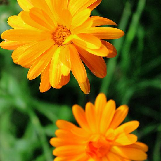 Calendula officinalis seeds 'POT MARIGOLD' ORGANIC