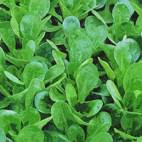Corn salad seeds 'VIT', Lambs Lettuce, mache ORGANIC