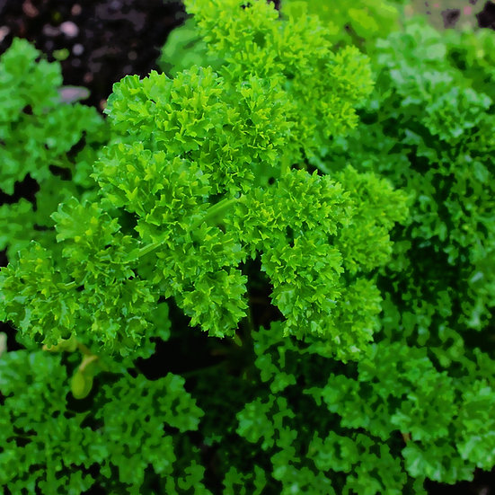 Parsley Seeds 'MOSS CURLED' ORGANIC