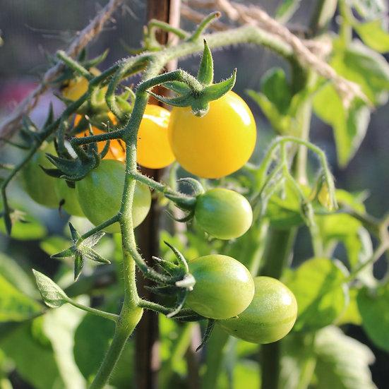 Tomato Seeds 'YELLOW SUBMARINE' ORGANIC