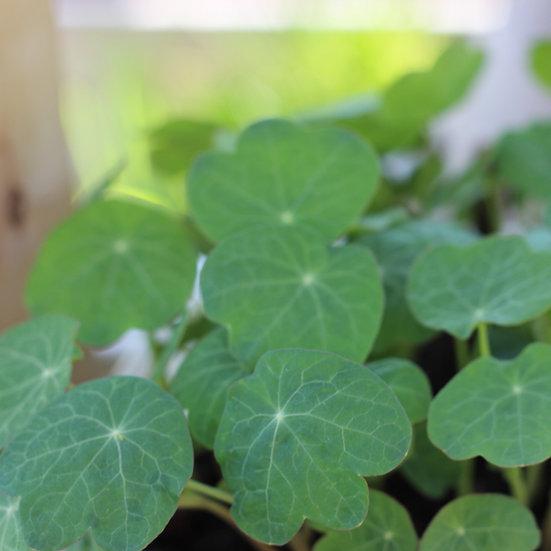 Nasturtium seeds 'Dwarf Mix' ORGANIC