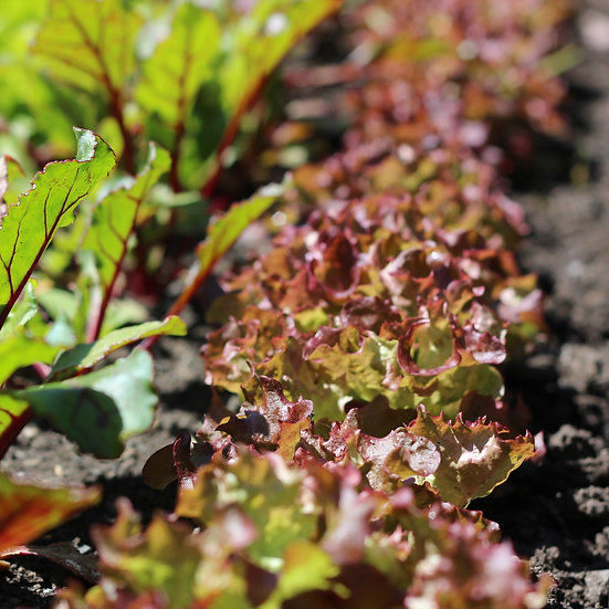 Lettuce seeds 'Lollo Rossa' ORGANIC