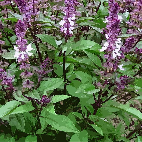 Basil seeds 'CINNAMON' ORGANIC