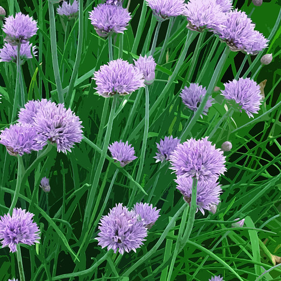 Herb Seeds 'CHIVES' ORGANIC