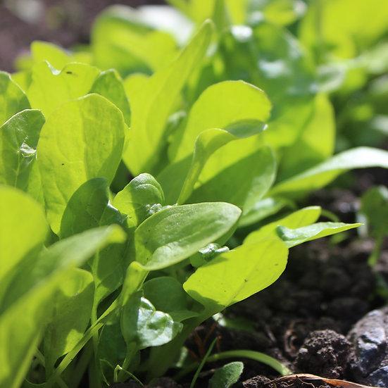 Spinach Seeds 'MATADOR' ORGANIC