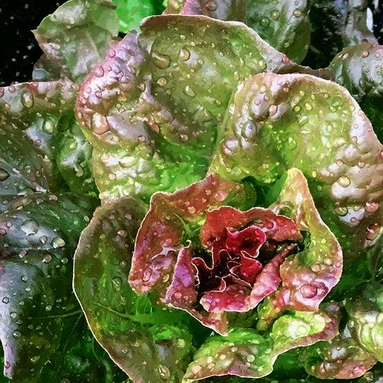 Lettuce Seeds 'MARVEL OF FOUR SEASONS' ORGANIC