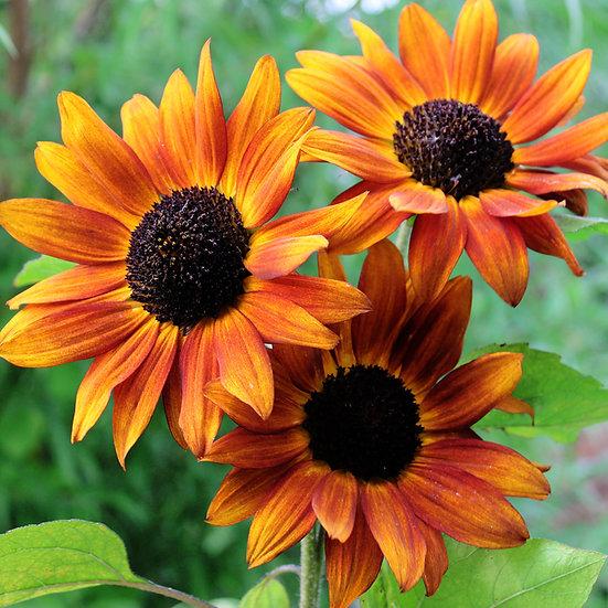 Sunflower Seeds 'Velvet Queen' ORGANIC