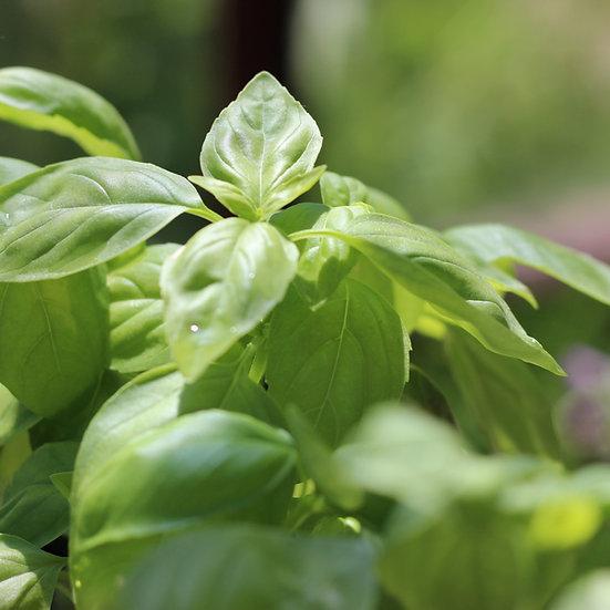 Basil seeds 'SWEET GENOVESE' ORGANIC