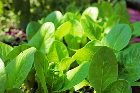 Lettuces 3.jpg