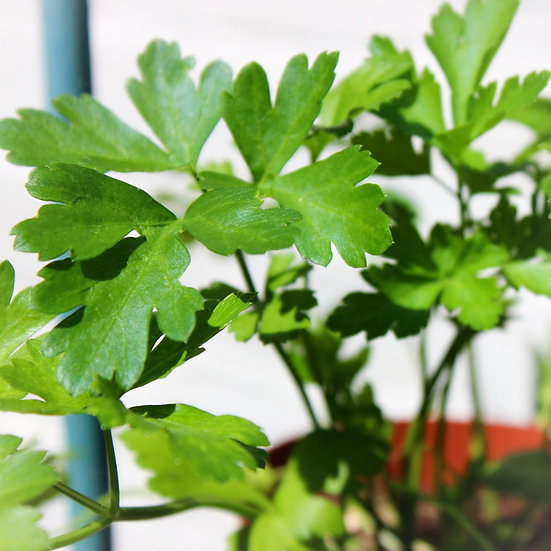 Parsley Seeds 'FRENCH FLAT LEAF' ORGANIC