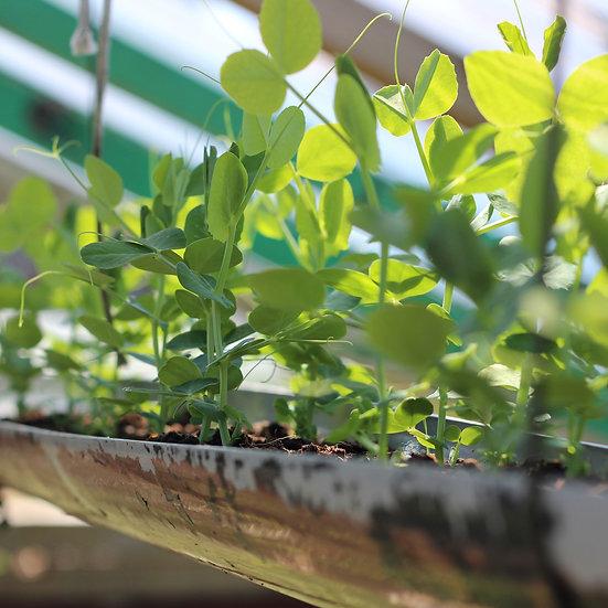Pea seeds 'Ambassador' ORGANIC