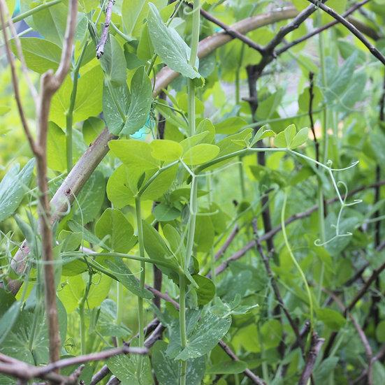 Mangetout, pea seeds 'Norli' ORGANIC
