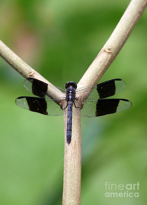 beautiful-dragonfly-sabrina-ryan.jpg