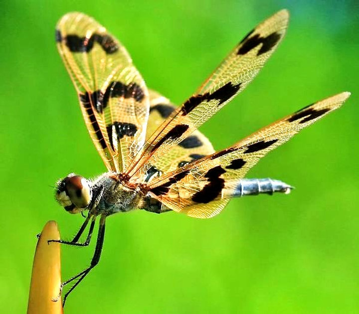 flutterer-dragonfly-wings-10663334_edite