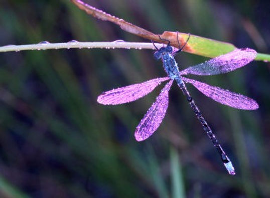 Dragonfly-384x282_edited.jpg