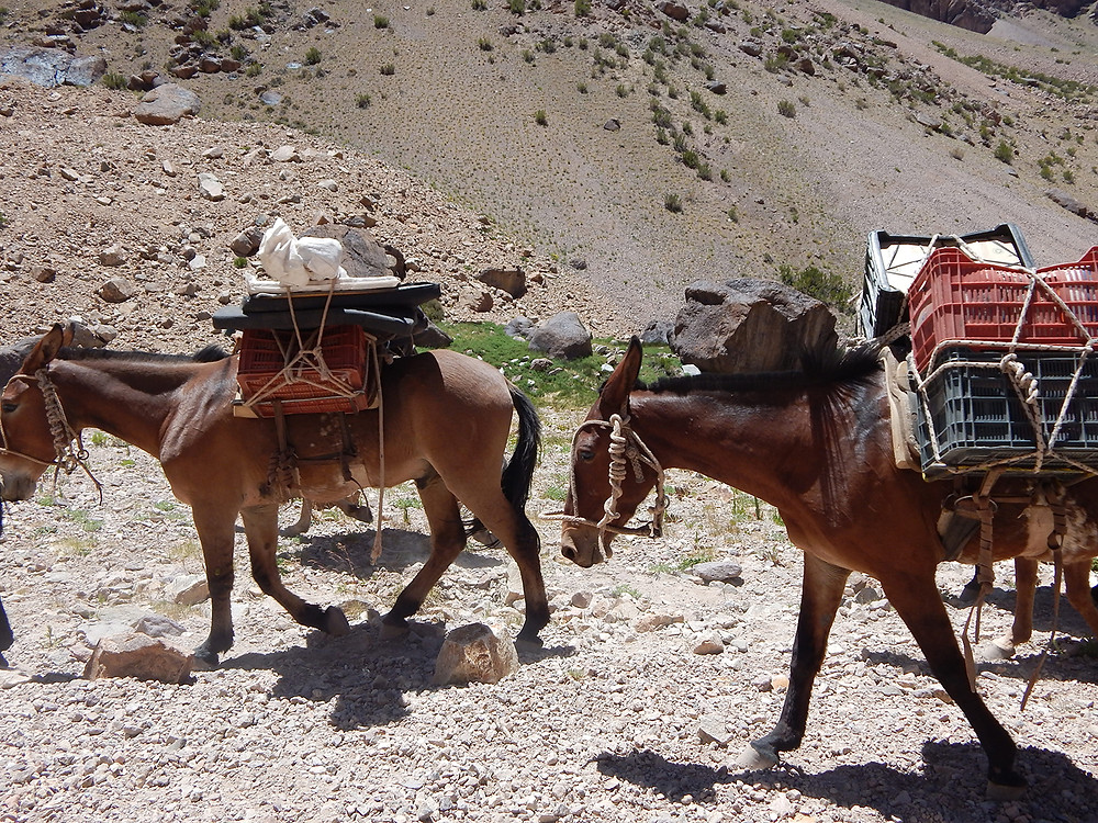 Mules carrying gear to base camp