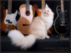 тиккированный мейн-кун, тикированный мейн-кун,  котята мейн кун, окрас камео