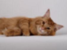 мейн-кун Барди, кот мейн кун на вязку, кот открыт для вязок, котята мейн кун, окрас камео