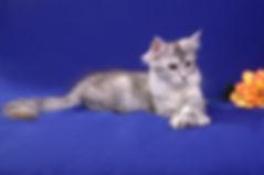 котята мейн кун, мейн кун, maine coon, кошки редких окрасов, питомник мейн кун