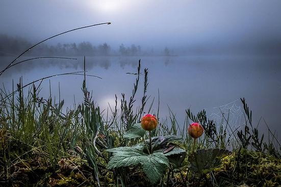 Finland_autumn_cloudberry.jpg