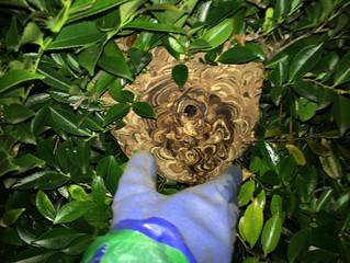 中原区の蜂の巣駆除は害虫害獣駆除本舗にお任せください