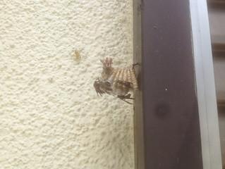 川崎市麻生区のスズメバチ駆除、アシナガバチ駆除