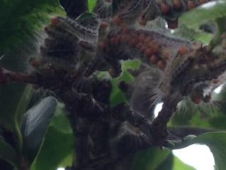 中野区の害虫害獣駆除はお任せ下さい!即日対応・毛虫の被害・庭木の調査・チャドクガ・イラガ・アメリカシロシトリ 動物のお困り事