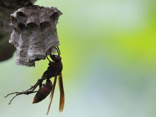スズメバチ駆除・アシナガバチ駆除 業界最安値 害虫害獣駆除本舗