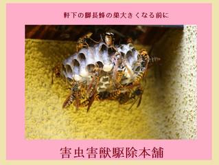 中原区のアシナガ蜂駆除依頼は害虫害獣駆除本舗へ