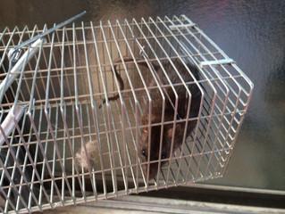神奈川県川崎市高津区のネズミ駆除、ねずみ対策の専門業者 害虫害獣駆除本舗
