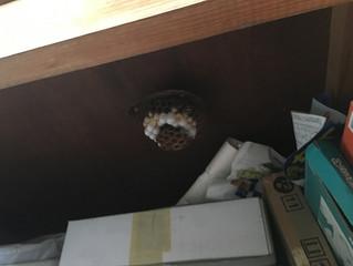 神奈川県横浜市保土ヶ谷区でスズメバチ駆除、巣の撤去