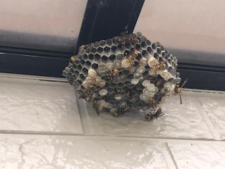 高津区のアシナガ蜂駆除は害虫害獣駆除本舗へ