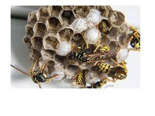 川崎市宮前区のアシナガバチ駆除、スズメバチ駆除
