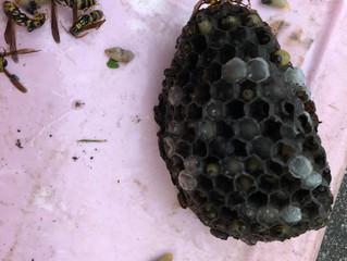 川崎市宮前区のスズメバチ駆除、アシナガバチ駆除