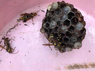 横浜市都筑区でアシナガバチ駆除・巣の撤去
