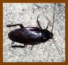 ゴキブリの駆除 害虫退治のパイオニア