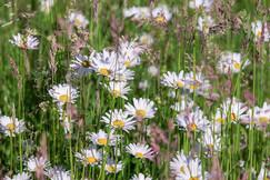 daisies-4244452_1280.jpg