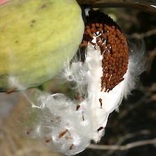 Moth plant pods split releases hundreds of tiny seeds