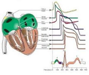 Website Biopotentials Heart.JPG