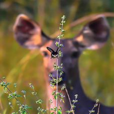A Deer Dream